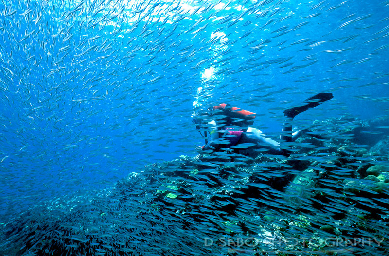"""Low Visibility""  A diver is surrounded by Hardhead silversides (Atherinomorus stipus) off of Anse Chastanet Reef, St. Lucia, Windward Isles, West Indies"