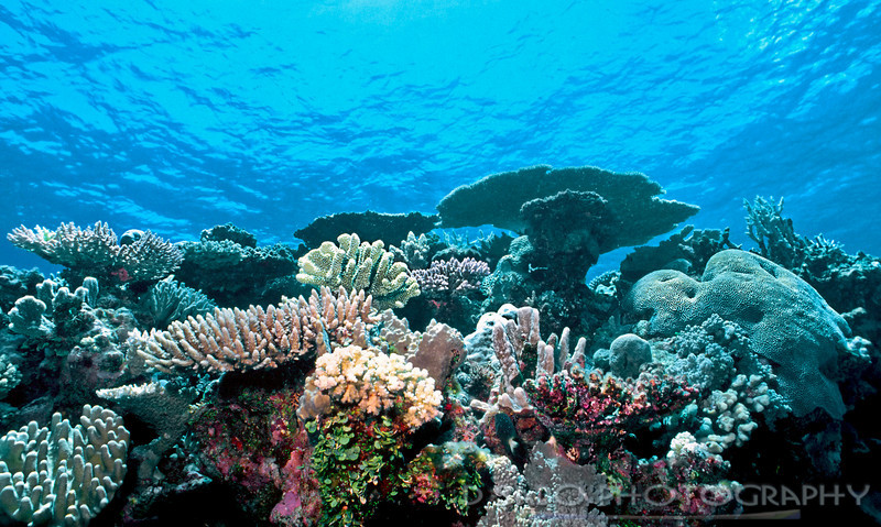"""Mother Nature the Builder""  Variety of healthy small polyp hard corals, Acropora, on a virgin pristine Indonesia reef, 1992, Togian Sea"