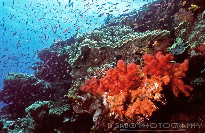 """Maldives shallow reef""  Good illustration of healthy hard and soft corals; Maldive Islands"