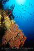 """""""Red Gorgonian""""  Deep water reef with red gorgonian. Dominica,Windward Isles, Caribbean"""