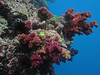 """Purple Wall"" dive site 2<br /> <br /> Fiji UW-0124"