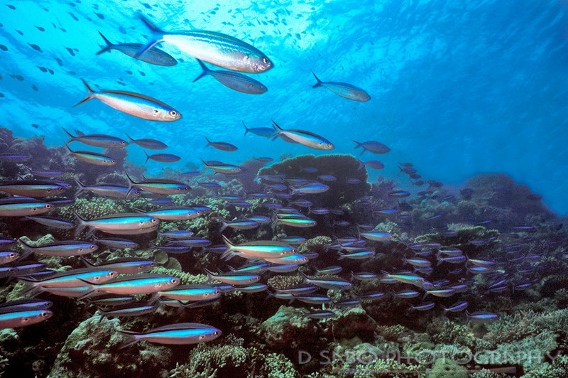 """""""Maldivian Motion""""  A colorful school of fusiliers darts through a shallow reef in the Maldive Islands"""