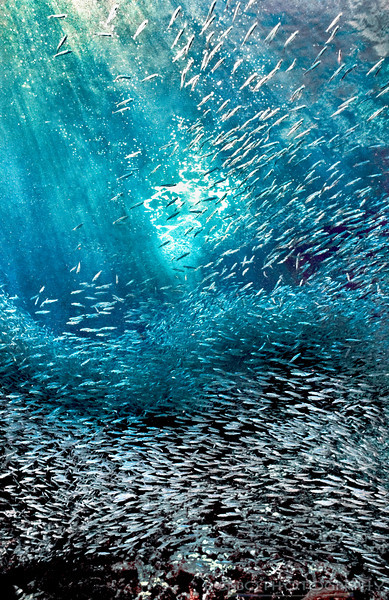 """Fish Storm"" Sunlight streams down on a storm of Hardhead silversides (silverlings) near the cave entrance in Anse Chastanet Bay, St. Lucia, Windward Isles, Caribbean"