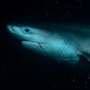 Sixgill Shark 2018-08-02