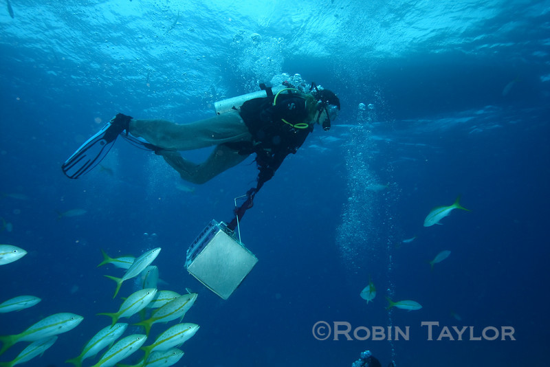 Ingrid leaving the circle with the bait box, with quite a few Yellowtail Snappers in pursuit.