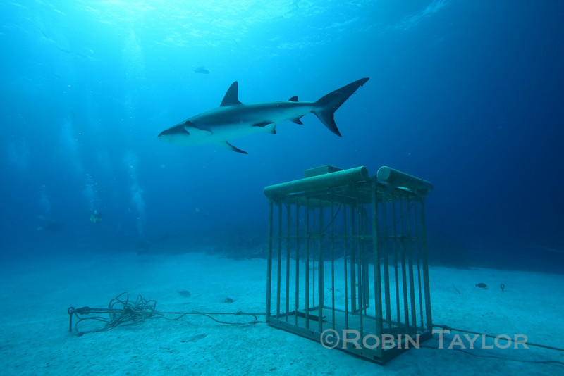 Shark glides past a cage, which is kept here for productions.