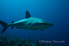 Caribbean Reef Shark glides over the wall.