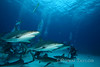 Sharks in formation around the feed
