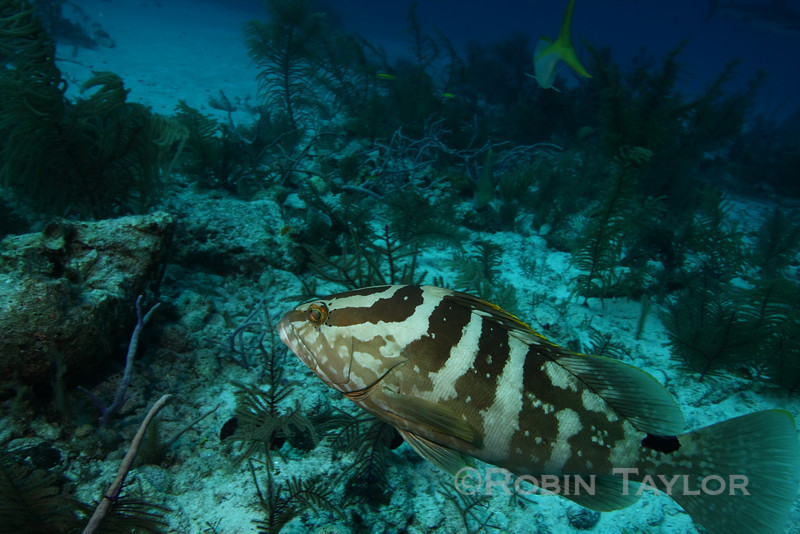 A bold little Nassau Grouper, which was fighting with the snappers over scraps.