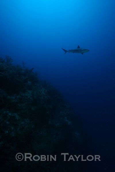 Lonely reef shark.