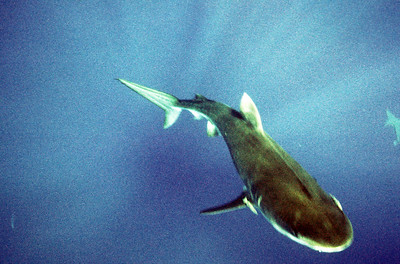 © Joseph Dougherty. All rights reserved.   Tiger shark, Galeocerdo cuvier. This shark was about 10-12 feet.