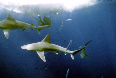 © Joseph Dougherty. All rights reserved.   Sandbar sharks swarming around the dive boat.  The sandbar shark's main predator is man. Natural predators include the tiger shark and (rarely) great white shark. The sandbar shark, and other requiem sharks, preys on finfish, rays, bottom dwelling animals, seabirds and turtles.  Sandbar sharks are viviparous. The embryos are supported in a placental yolk sac inside the mother. The female reproduces every two years. They give birth to 8 to 10 young. They carry the young for one year before birth.