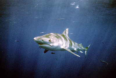 © Joseph Dougherty.  All rights reserved.  Galeocerdo cuvier   Tiger Shark  While the tiger shark is considered to be one of the sharks most dangerous to humans, the attack rate is surprisingly low according to researchers. The tiger is second on the list of number of recorded attacks on humans, with the great white shark being first. They often visit shallow reefs, harbors and canals, creating the potential for encounters with humans.