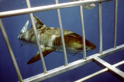 © Joseph Dougherty. All rights reserved.   Tiger shark bumping the dive cage, very interested in the crunchy human treats inside.