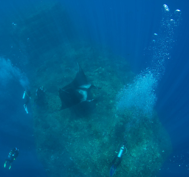 This is why they are referred to as Giant Manta Rays!