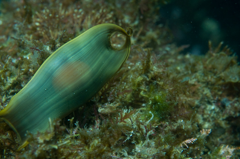 Swell Shark Egg