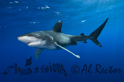 Oceanic White Tip Shark 5