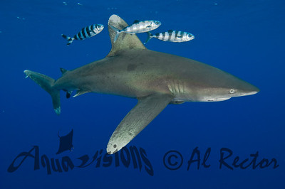 Oceanic White Tip Shark 6