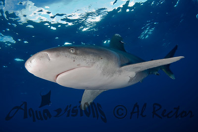 Oceanic White Tip Shark 9