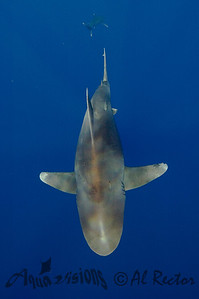 Oceanic White Tip Shark 11