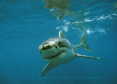 Carcharodon carcharias, Great White Shark Neptune Islands S. Australia