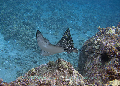 Spotted Eagle ray in Papa bay