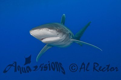 Oceanic White Tip Shark 17