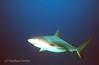 Shark Dive - Exumas, Bahamas