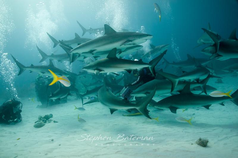 Grey reef shark feeding