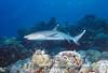 Triaenodon obesus, Whitetip Reefshark<br /> GBR Australia