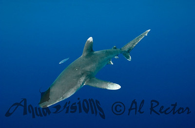Oceanic White Tip Shark 7