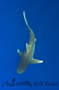 Oceanic White Tip Shark 12