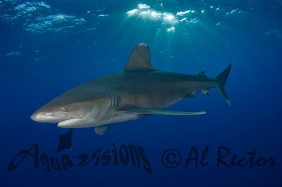 Oceanic White Tip Shark 15