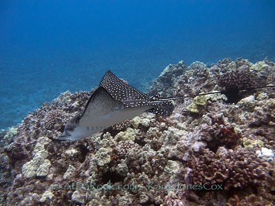 Eagle Ray, Hihimanu