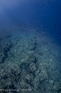 Hammerhead cruising under Thompson and Pyramid Butterflyfish