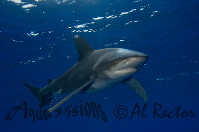Oceanic White Tip Shark 4