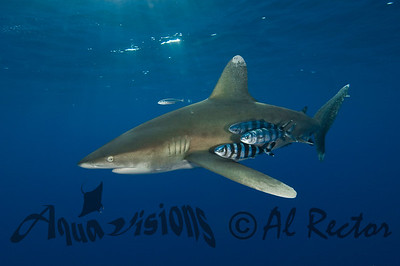 Oceanic White Tip Shark 8