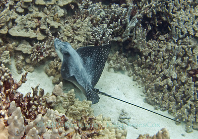 Spotted Eagle Ray at Keei Beach, Big Island