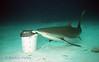 REEF SHARK - Long Island Shark Dive; Exumas, Bahamas