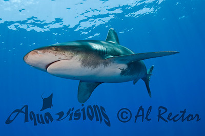 Oceanic White Tip Shark 1x