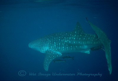 Rhincodon typus, Whale Shark Muscat, Sultanate of Oman