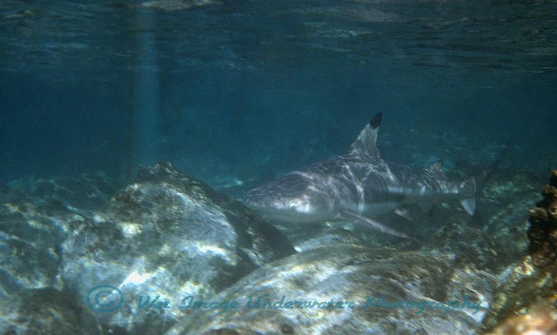 Carcharhinus melanopterus, Blacktip Reefshark<br /> Muscat, Sultanate of Oman