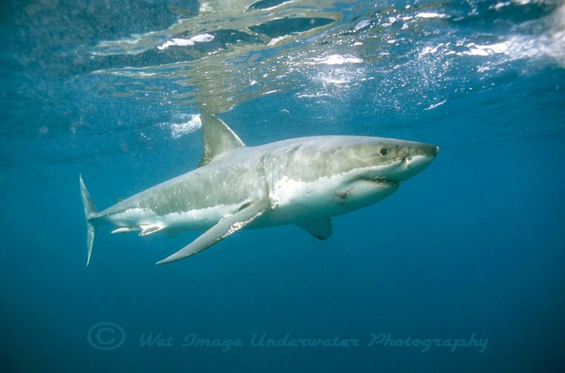 Carcharodon carcharias, Great White Shark<br /> Neptune Islands S. Australia
