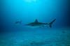 Carcharhinus albimarginatus, Silvertip Shark<br /> GBR Australia