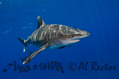 Oceanic White Tip Shark 13