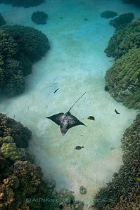 Spotted Eagle Ray at Honaunau, Big Island