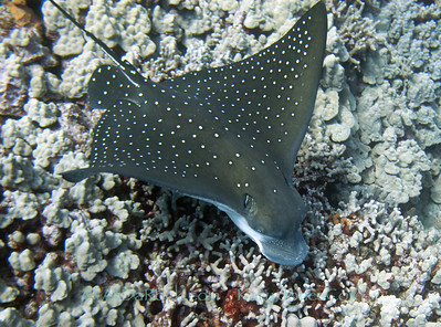 Spotted Eagle Ray, Hihimanu
