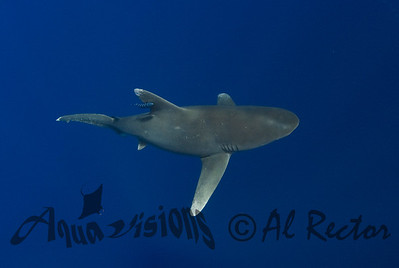 Oceanic White Tip Shark 14
