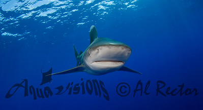 Oceanic White Tip Shark 16