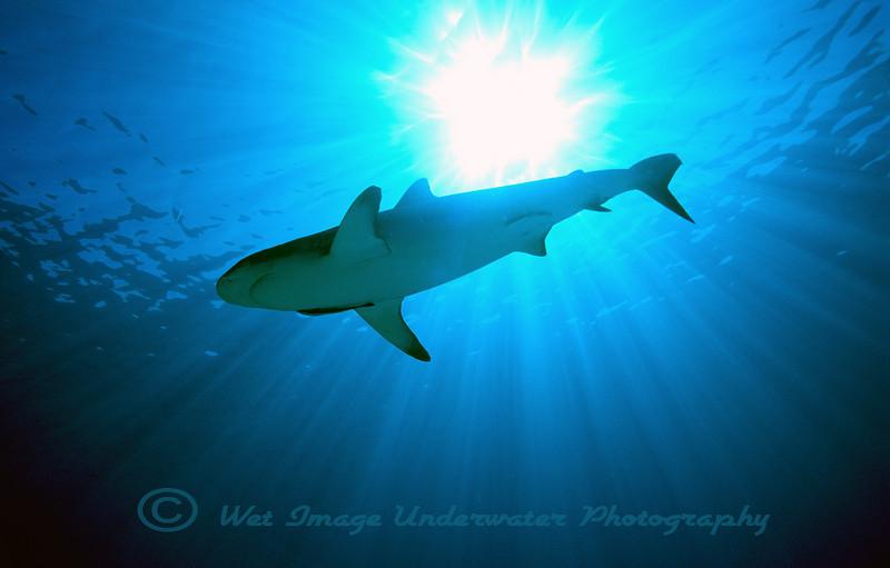 Carcharhinus amblyrhynchos, Grey Reef Shark<br /> GBR Australia